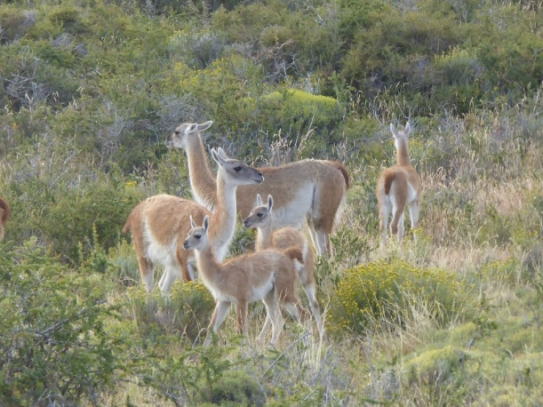 Adult and youg Guanaco