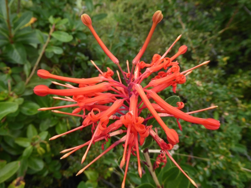 This is the flower of Chile.