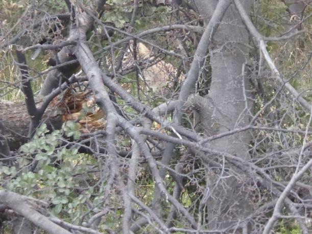 Fox in woods