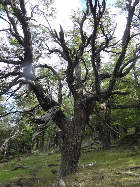 Lenga Tree