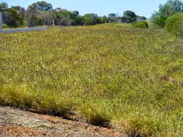 This is Buffel Grass