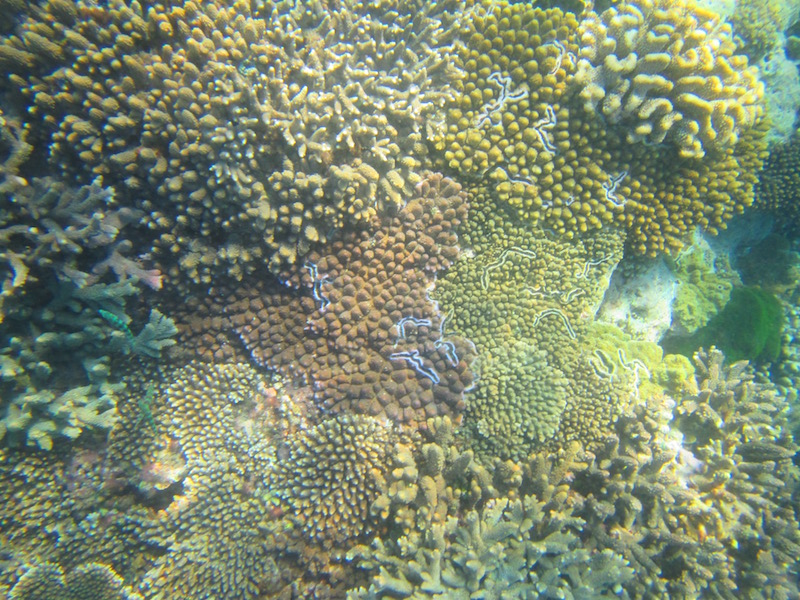 coral-with-blue-lines