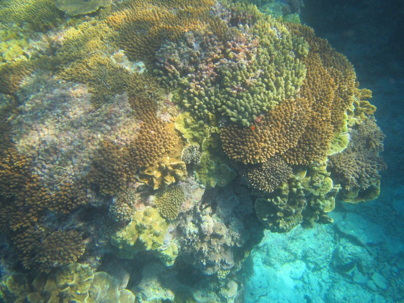 Coral off Lady Eliot Island.
