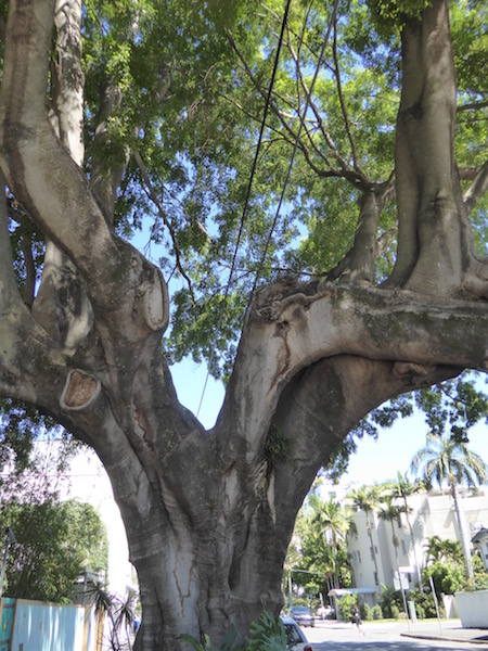 This is a fig tree in Brisbane.
