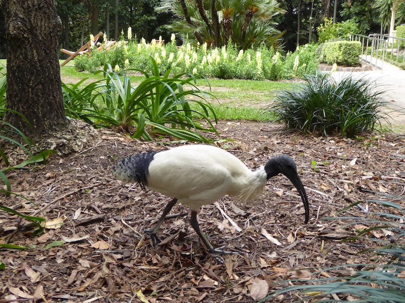 This its an Ibis.