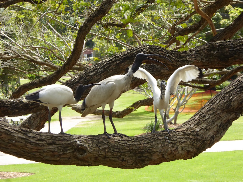 These Ibis are on the branch of a tree.