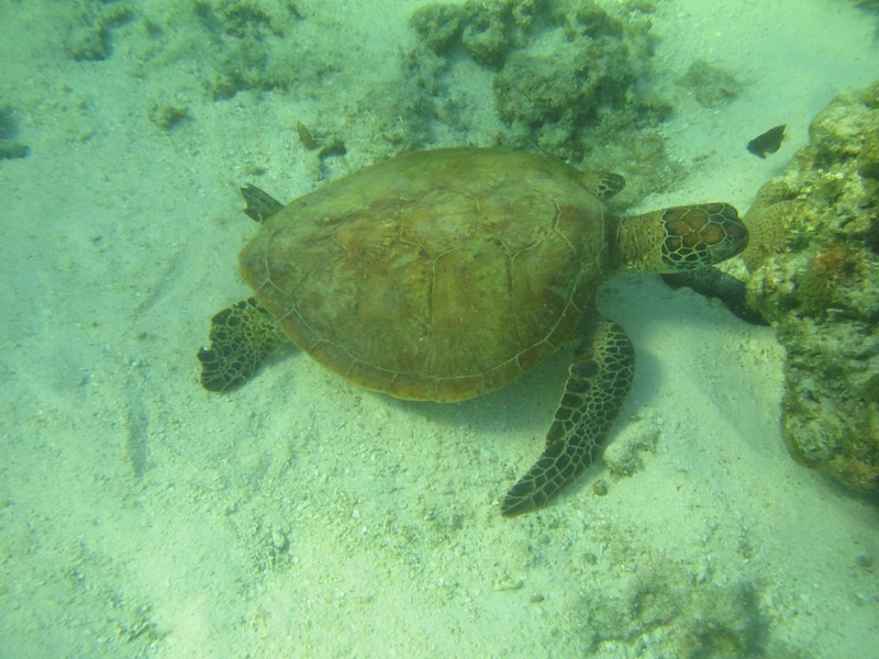 This is a male green sea turtle.