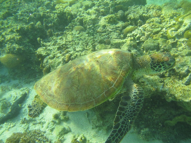 This si a male green sea turtle.
