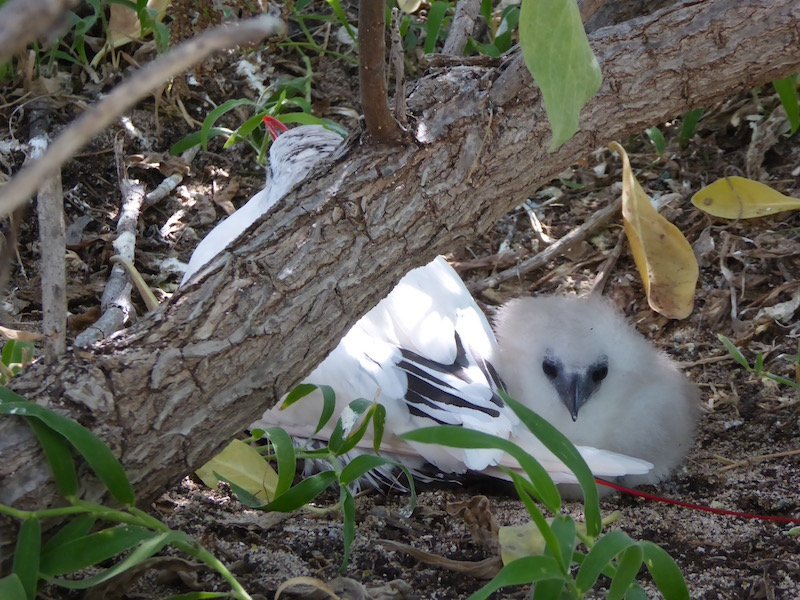 This red tailed tropic chick is very young.