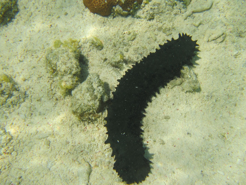 This is a Spiky Sea Cucumber.