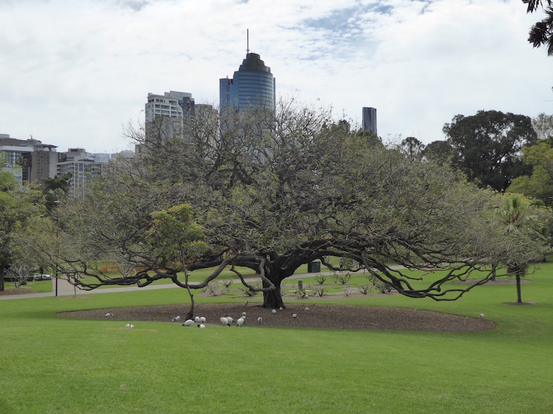 This is a tree in Brisbane Botanical Garden.