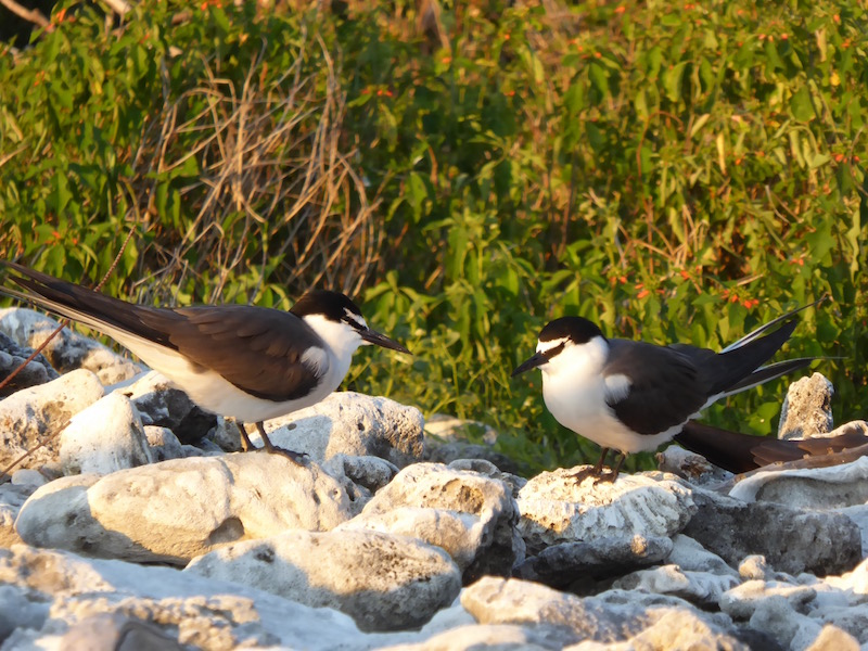 These are White Capped Noddy.