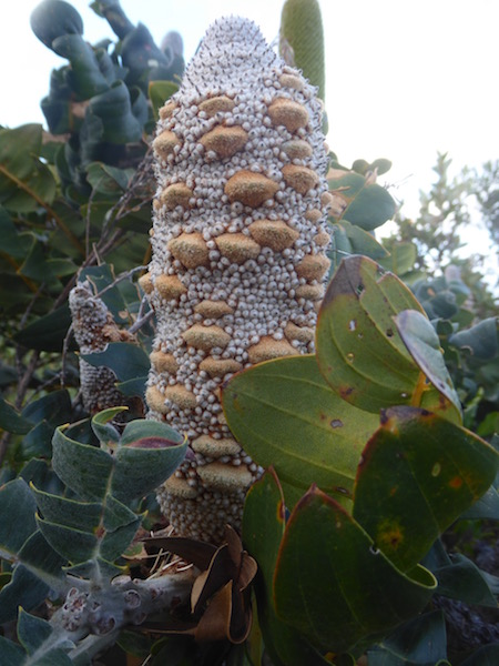 banksia-seed-2