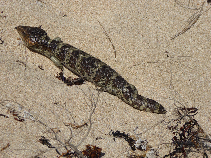 This is a Bob Tail Lizard