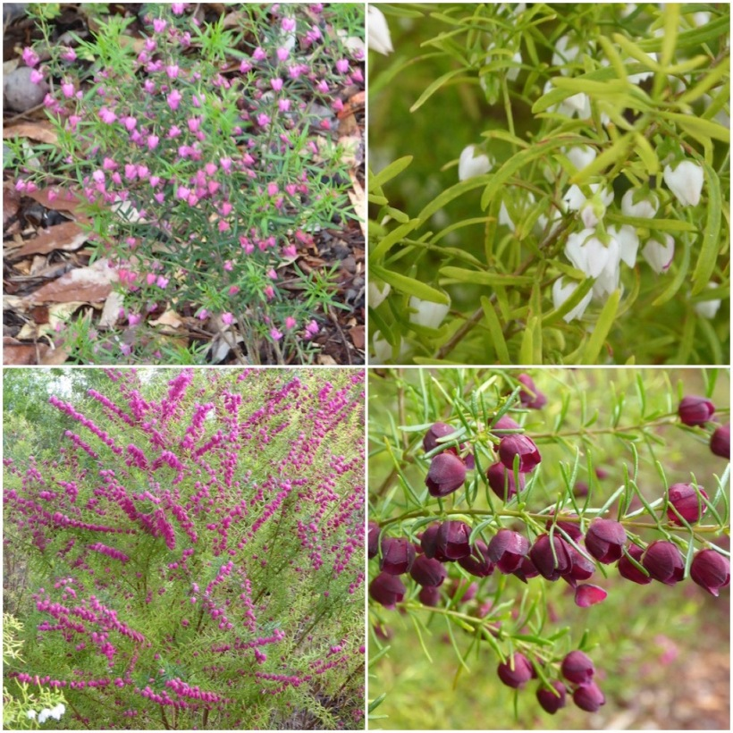 boronia-collage-10-9-16-at-4-00-pm