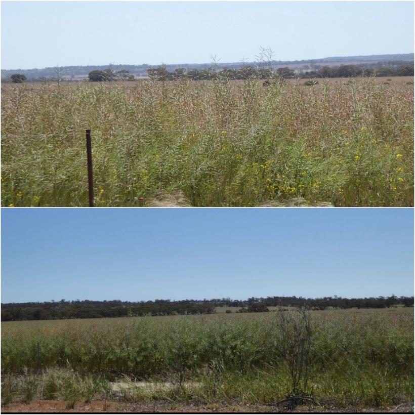 canola-crop-collage