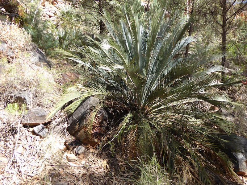 cycad-in-stanley-chasm