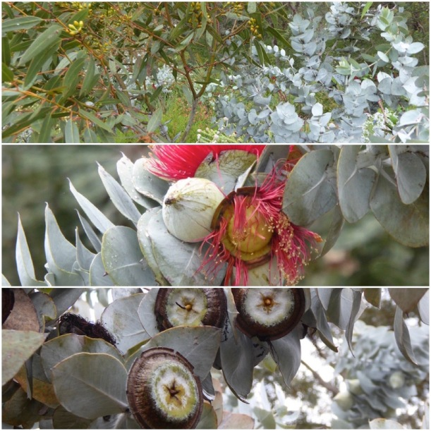eucalyptus-leaves-nuts-flowers-collage
