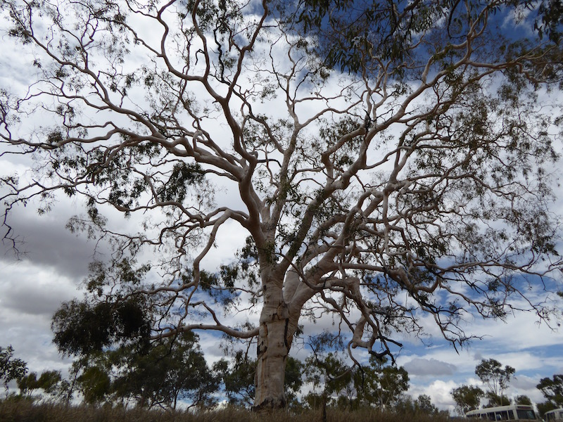 This is a Ghost Gum Tree.