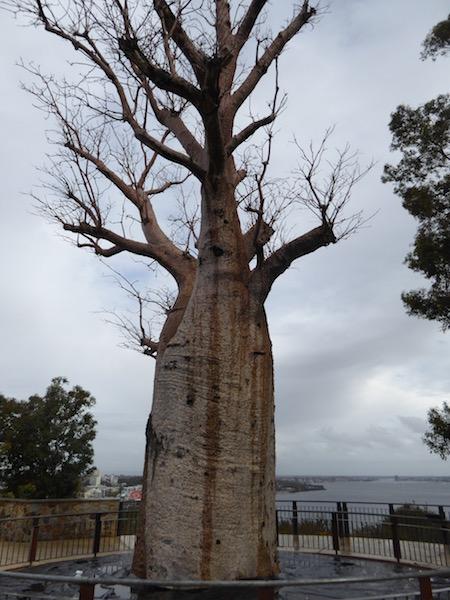 gija-jumulu-bottle-tree
