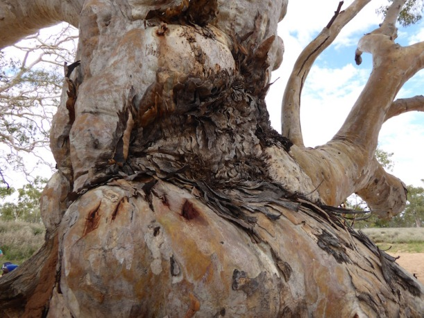 Red River Gum Tree Trunk.