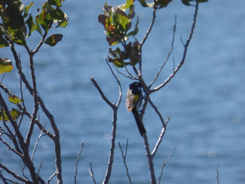 holland-honey-eater-on-branch
