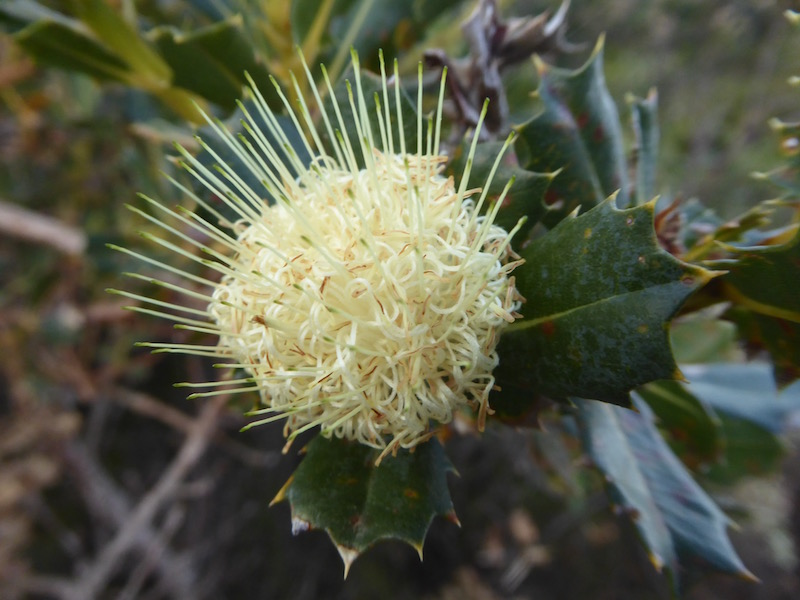 holly-leafed-banksia