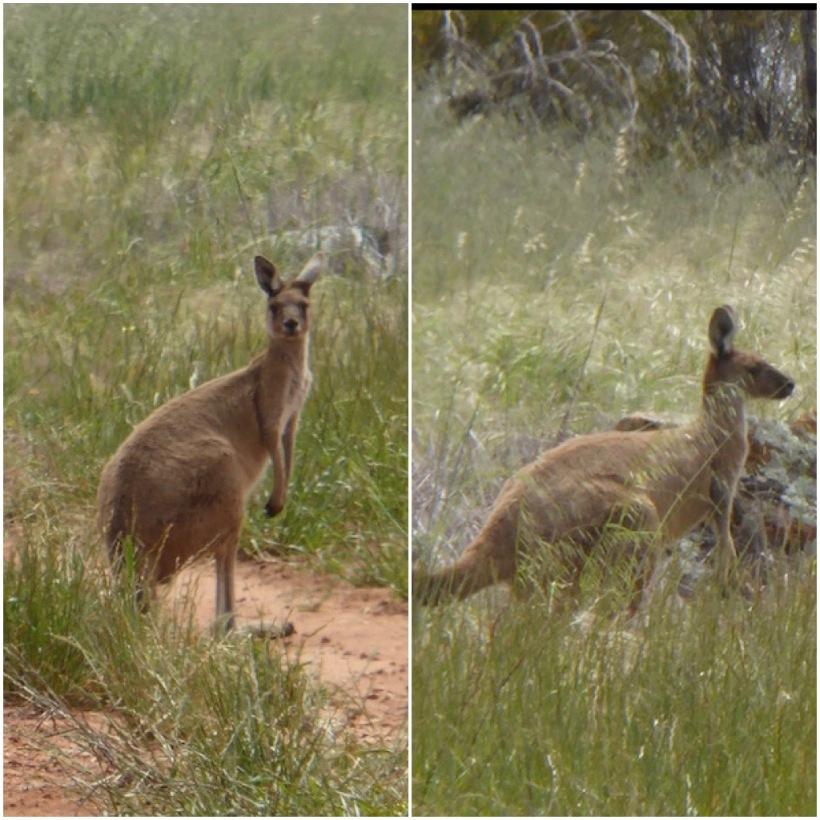 kangaroo-collage