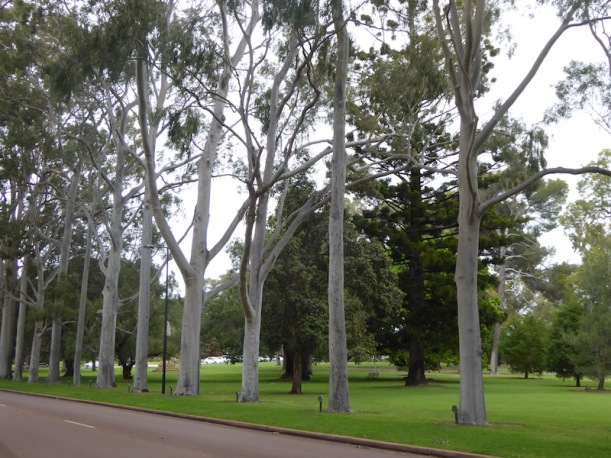 karri-trees