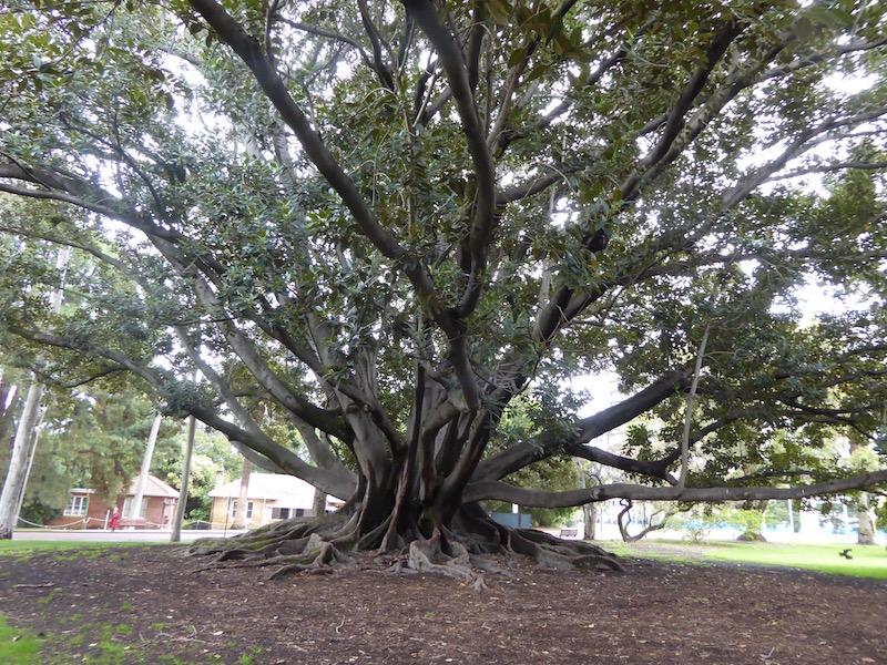 morton-bay-whole-tree