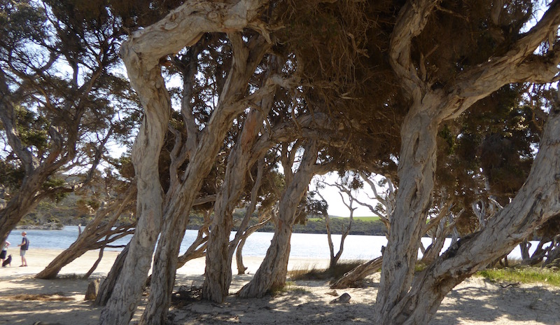 paperbark-trees-at-nararup-beach