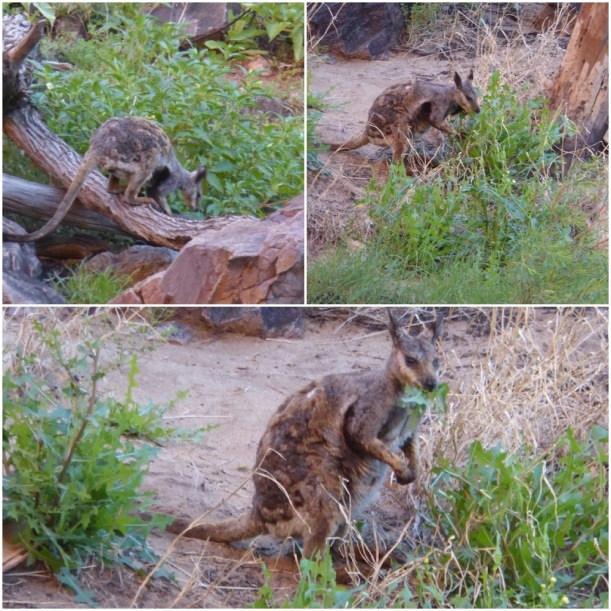 rock-wallabies-collage