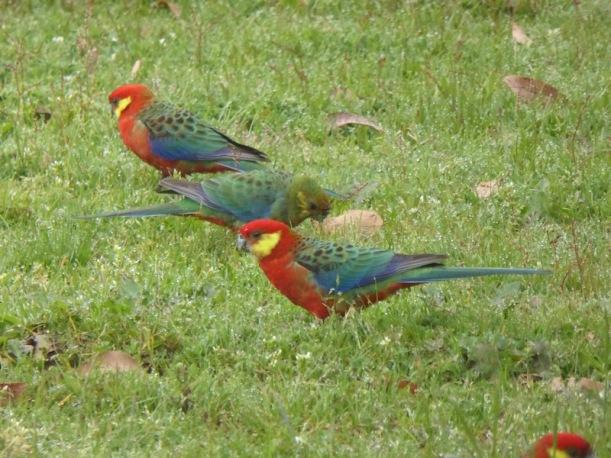 rosellas-read-headed-parrots