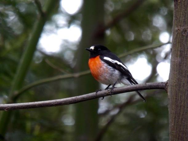 scarlet-robin