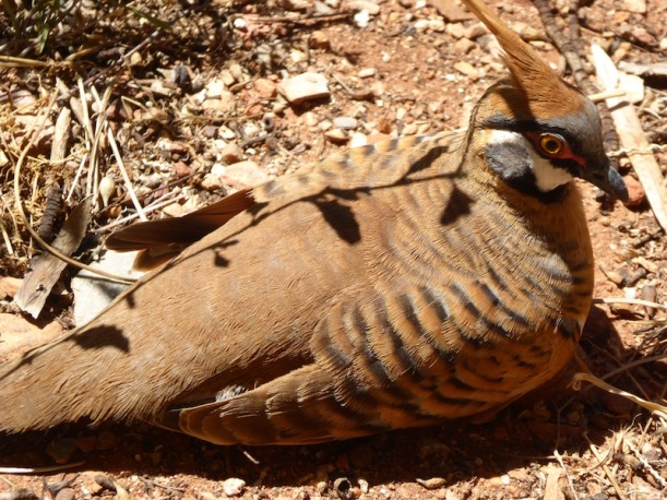 spinifex-pigeon