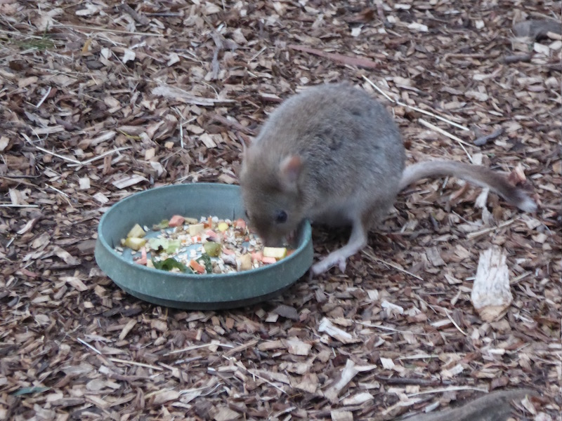 17-tasmanian-bettongs-eating-from-dish