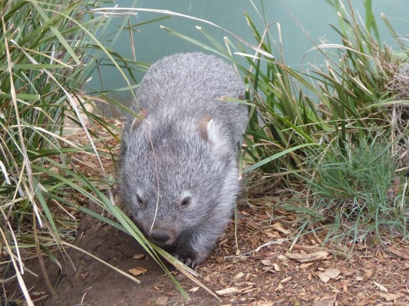 2-maria-the-wambat