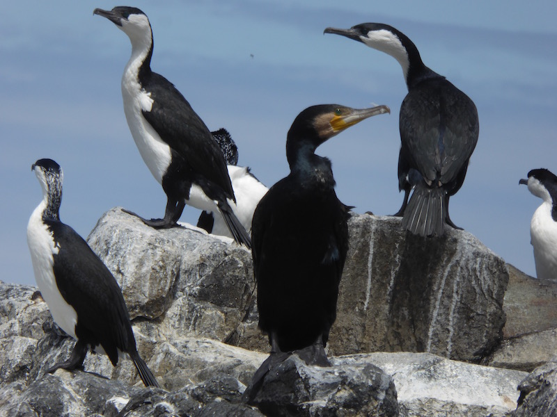 28-cormorants-with-black-one