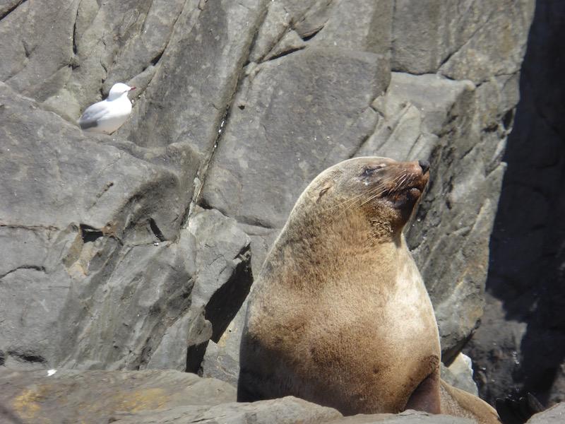 29-australian-seal