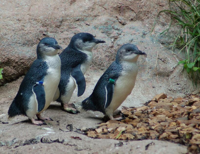 3-little-blue-penguins