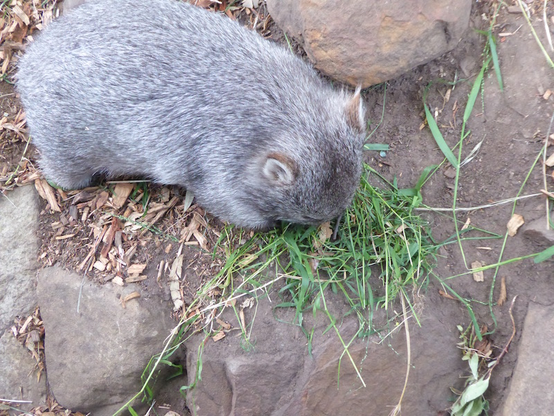 3-maria-the-wombat-eating