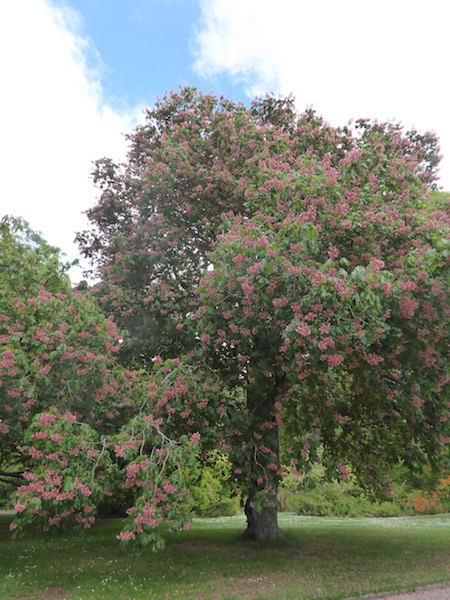 Red Horse Chestnut