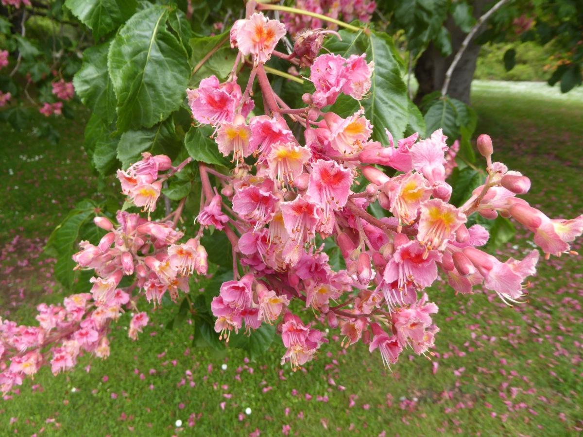 5 Red Horse Chestnut Flowers Traveling Nancy