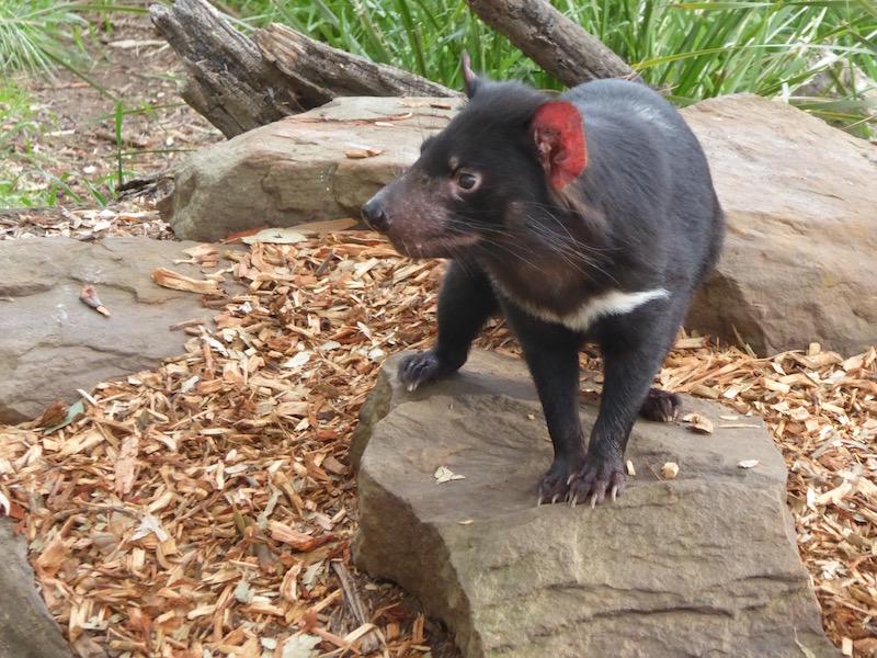 5-tasmanian-devil