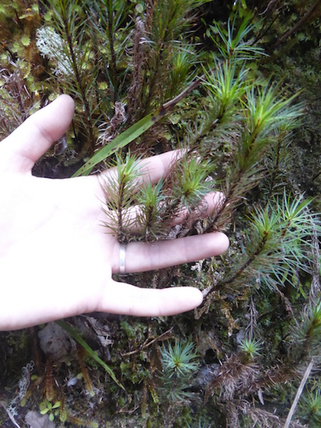 gaint-moss-in-a-j-s-hand