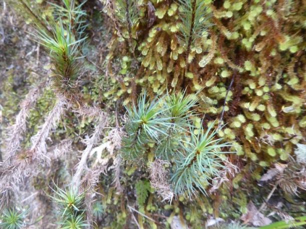 giant-moss