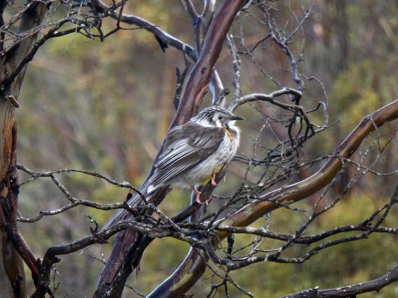 wattle-bird