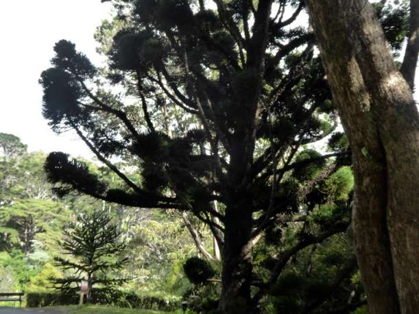 10-morten-bay-pine