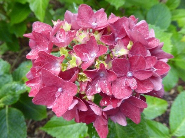 11-pink-hydrangia