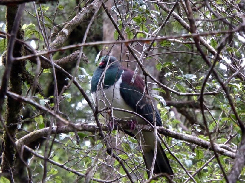 47-kereru - NZ Pigeon